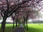 May - back in Edinburgh, the Meadows blossom outside my home