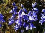 May - somewhere in Scotland - bluebells