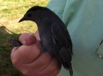 July - bird-banding at the Ocean View conservation