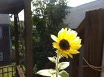 September - a sunflower on my deck - the basil, parsley and tomatoes have been a great success too