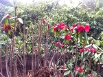 Bright red rhododendrons flowering already