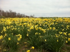 entered the Maze through Lapham's, fields of daffodils