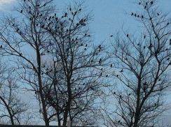 Starlings crowding every branch