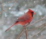 bird_cardinal_male